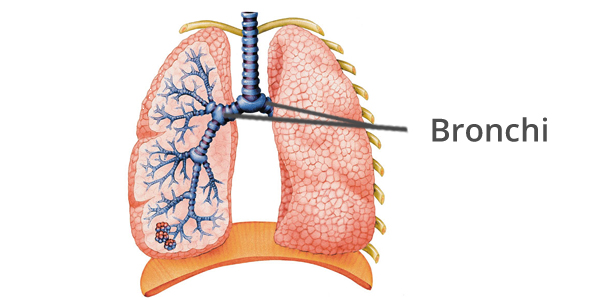 The Bronchi - The respiratory system